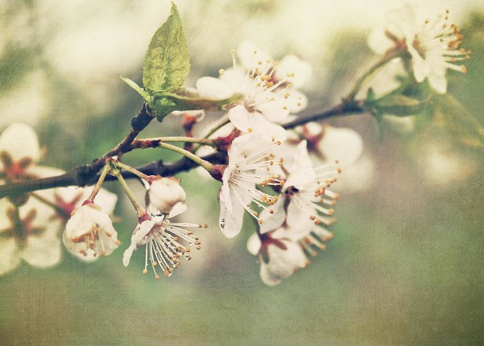 Apple Greeting Card featuring the photograph Apple Blossom Branch In Early Spring by Sandra Cunningham