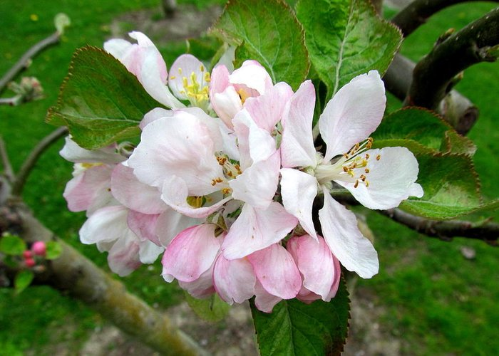 Apple Blossom. Greeting Card featuring the photograph Apple Blossom by Joyce Woodhouse