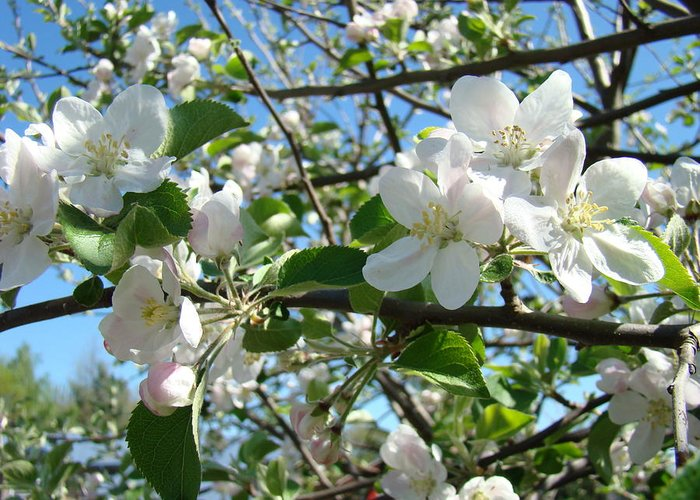�blossoms Artwork� Greeting Card featuring the photograph Apple Blossoms Art Prints 60 Spring Apple Tree Blossoms Blue Sky Landscape by Baslee Troutman