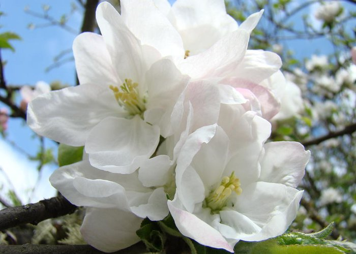 �blossoms Artwork� Greeting Card featuring the photograph Apple Blossoms Art Prints Giclee 48 Spring Apple Tree Blossoms Blue Sky Macro Flowers by Baslee Troutman