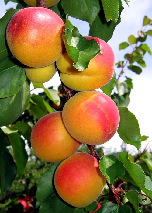 Apricots Greeting Card featuring the photograph Apricots by Will Borden