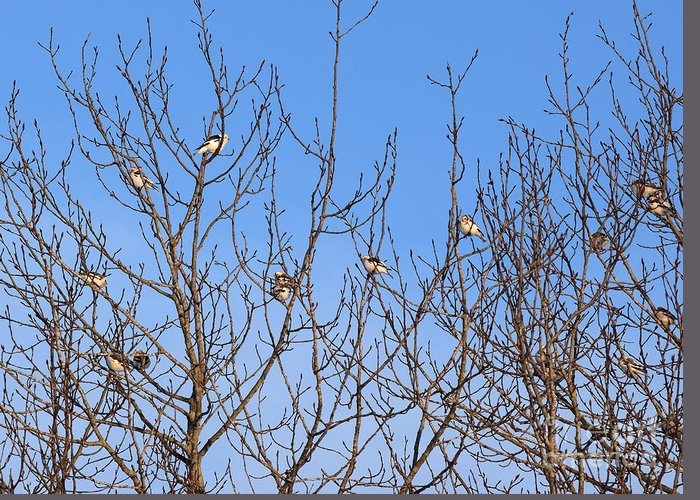 Arctic Bunting Greeting Card featuring the photograph Arctic Buntings by William Tasker