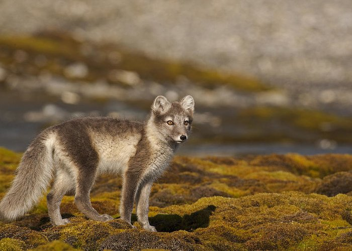 Arctic Greeting Card featuring the photograph Arctic Fox In Tundra by Jenny Hibbert