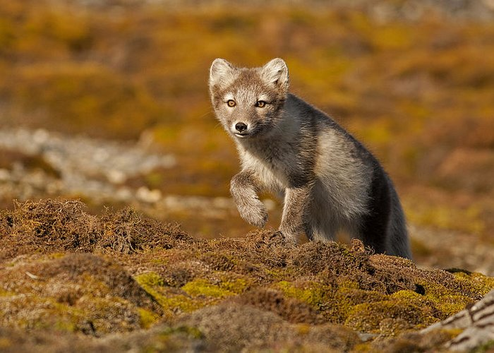 Arctic Greeting Card featuring the photograph Arctic Fox Striding Out by Jenny Hibbert