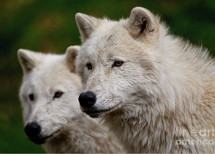 Michael Cummings Greeting Card featuring the photograph Arctic Wolf Pair by Michael Cummings