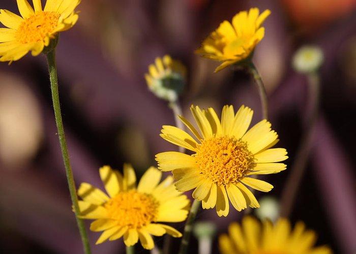 Flower Greeting Card featuring the photograph Arizona Daisy by Kevin Igo