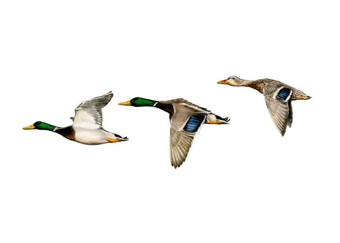 Flock Of Ducks Greeting Cards