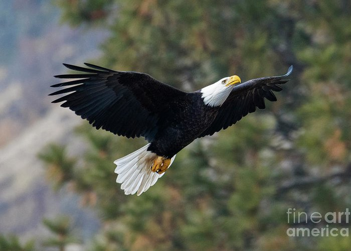 Bald Eagle Greeting Card featuring the photograph Ascent by Mike Dawson