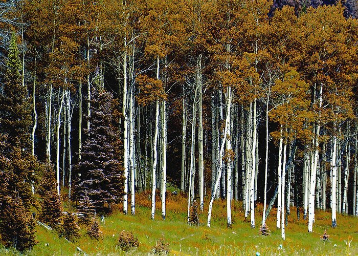 Trees Greeting Card featuring the photograph Aspen Fall Digital by Scott Washburn