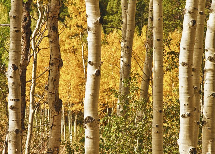 Autumn Greeting Card featuring the photograph Aspen Gold by James BO Insogna