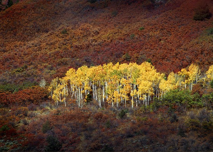 Aspens Greeting Card featuring the photograph Aspen Grove by Rich Franco