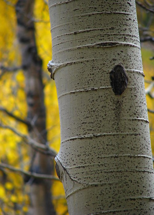 Aspens Greeting Card featuring the photograph Aspen In Fall by Jeff White