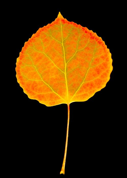 Leaf Greeting Card featuring the photograph Aspen Leaf by Marilyn Hunt