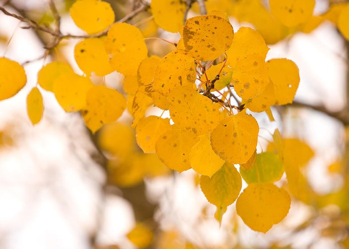 Trees Greeting Card featuring the photograph Aspen Leaves by James BO Insogna