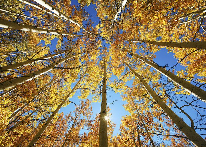 Aspen Greeting Card featuring the photograph Aspen Tree Canopy 2 by Ron Dahlquist - Printscapes