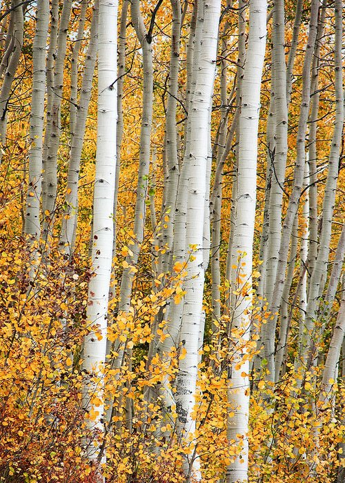 Aspen Greeting Card featuring the photograph Aspen With Fall Color by Dori Peers