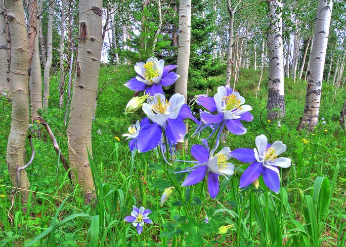 Aspen Greeting Card featuring the photograph Aspens And Columbines by Scott Mahon