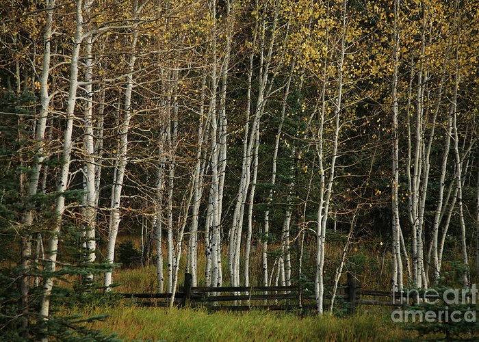 Landscape Greeting Card featuring the photograph Aspens In The Fall by Timothy Johnson