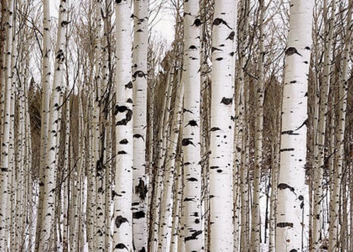 Aspen Greeting Card featuring the photograph Aspens In Winter Panorama - Colorado by Brian Harig