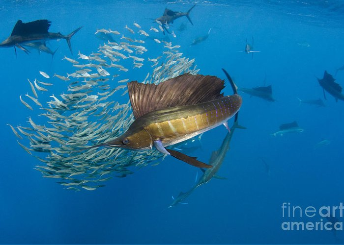00456229 Greeting Card featuring the photograph Atlantic Sailfish Hunting by Pete Oxford