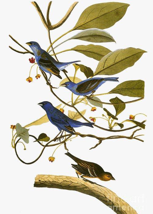 1827 Greeting Card featuring the drawing Indigo Bunting, 1827-38 by John James Audubon