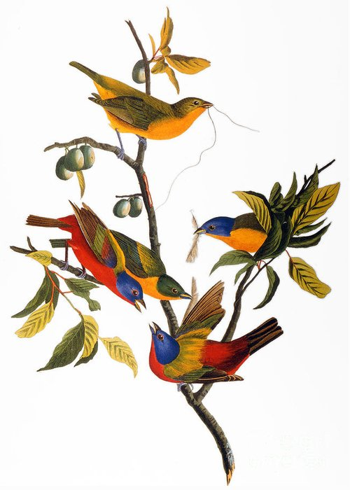1827 Greeting Card featuring the drawing Bunting, 1827 by John James Audubon