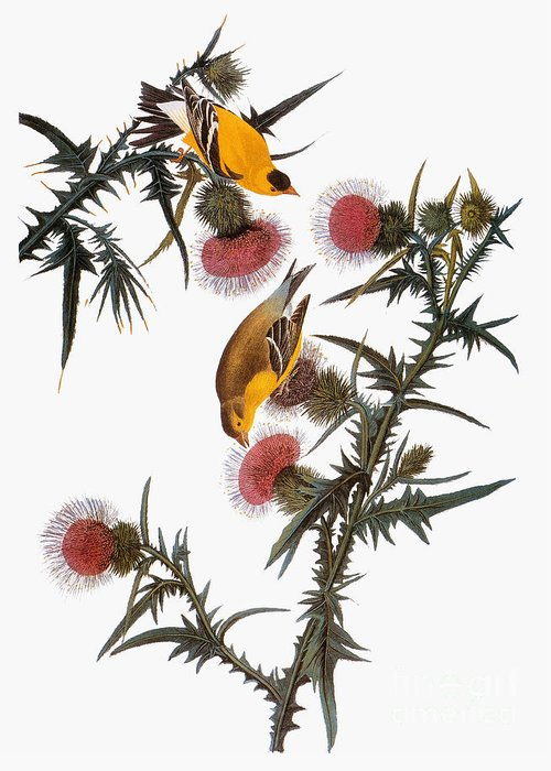 1838 Greeting Card featuring the photograph Goldfinch by John James Audubon