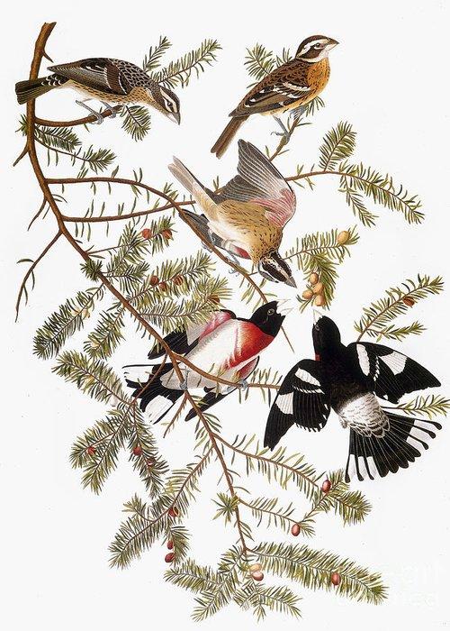1838 Greeting Card featuring the photograph Audubon: Grosbeak by Granger