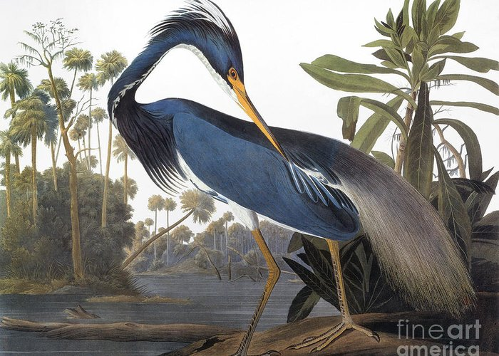 1827 Greeting Card featuring the drawing Louisiana Heron - Hydranassa Tricolor, 1827 by John James Audubon