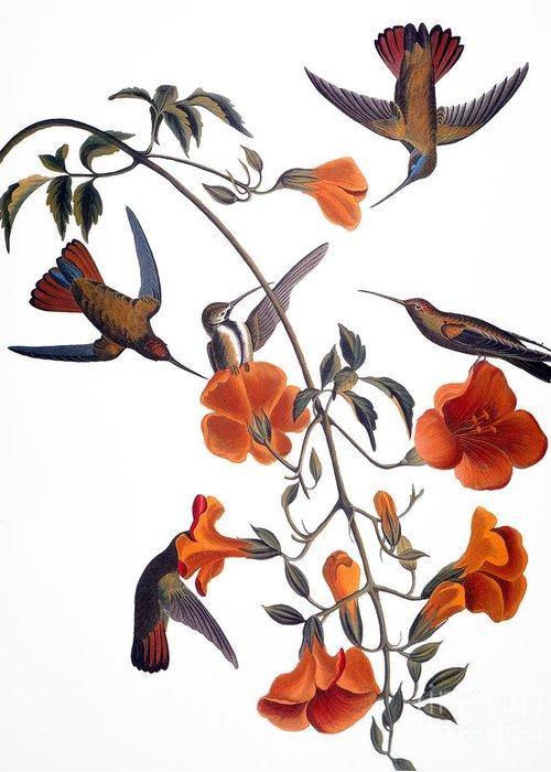 1838 Greeting Card featuring the photograph Audubon: Hummingbird by Granger