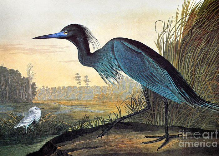 1827 Greeting Card featuring the photograph Audubon: Little Blue Heron by Granger
