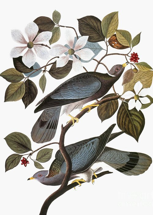 1838 Greeting Card featuring the photograph Audubon: Pigeon by Granger