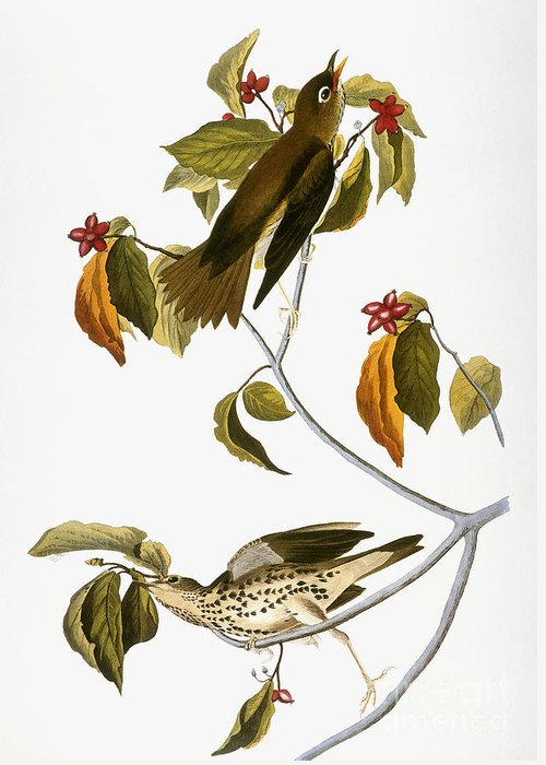 1838 Greeting Card featuring the photograph Audubon: Thrush by Granger
