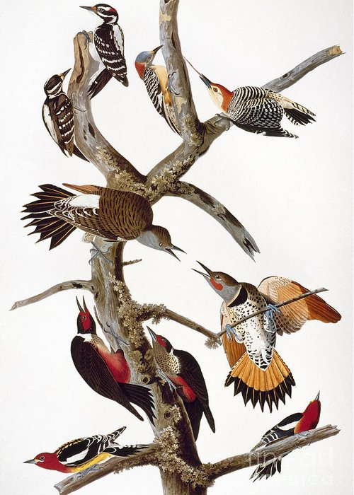 1838 Greeting Card featuring the photograph Audubon: Woodpeckers by Granger
