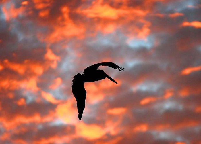 Wa Greeting Card featuring the photograph Australian Pelican Silhouette by Tony Brown