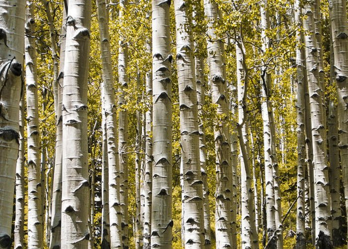 3scape Photos Greeting Card featuring the photograph Autumn Aspens by Adam Romanowicz