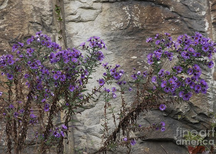 Wildflowers Greeting Card featuring the photograph Autumn Asters by Randy Bodkins