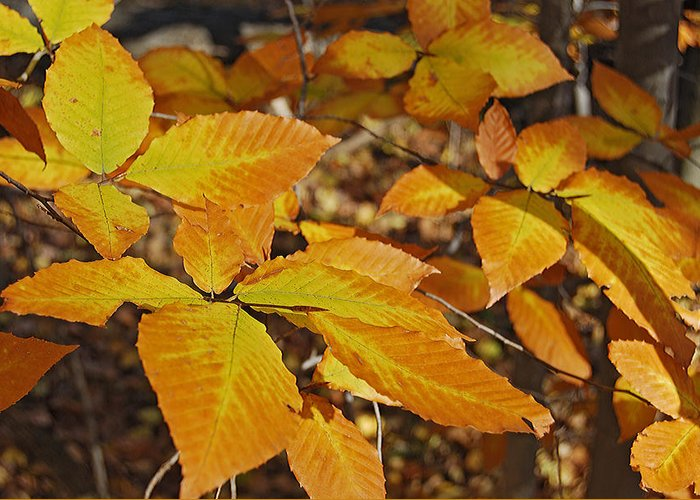 Beech Photographs Greeting Card featuring the photograph Autumn Beech by Michael Peychich
