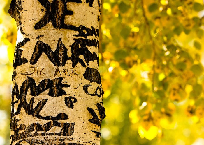Aspens Greeting Card featuring the photograph Autumn Carvings by James BO Insogna