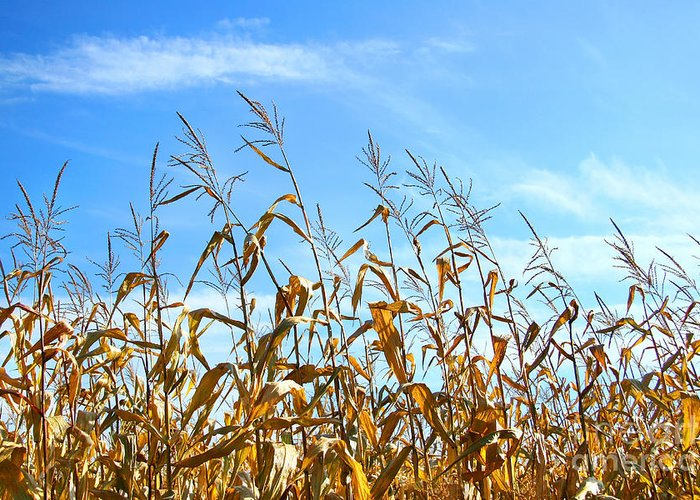 Agricultural Greeting Card featuring the photograph Autumn Corn by Sandra Cunningham
