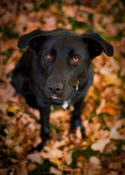 3scape Photos Greeting Card featuring the photograph Autumn Dog by Adam Romanowicz