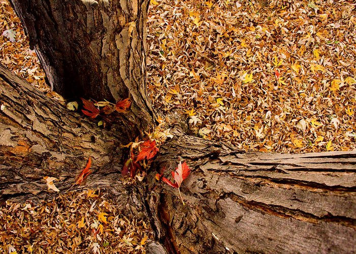 Maple Tree Greeting Card featuring the photograph Autumn Fall by James BO Insogna