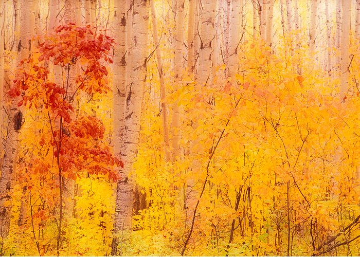 Photography Greeting Card featuring the photograph Autumn Forest Wbirch Trees Canada by Panoramic Images
