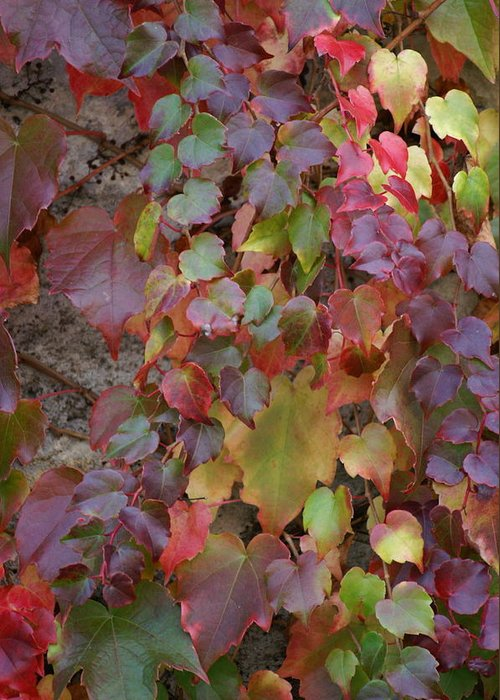 Ivy Greeting Card featuring the photograph Autumn Ivy by Jessica Rose