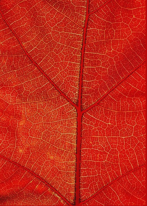 Nature Greeting Card featuring the photograph Autumn Leaf by David Nunuk