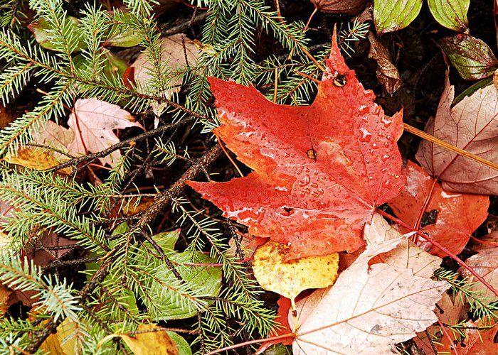 Boundary Waters Canoe Area Wilderness Greeting Card featuring the photograph Autumn Leaves by Larry Ricker