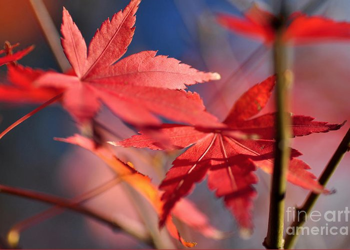 Photography Greeting Card featuring the photograph Autumn Maple by Kaye Menner