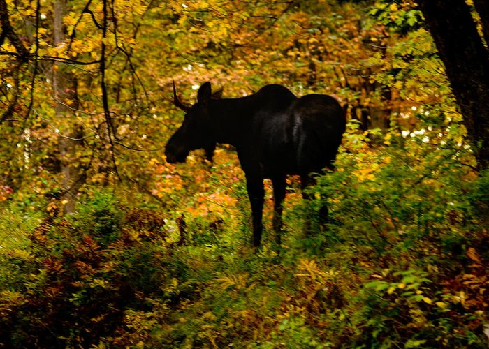 Moose Greeting Card featuring the photograph Autumn Moose by Brent L Ander