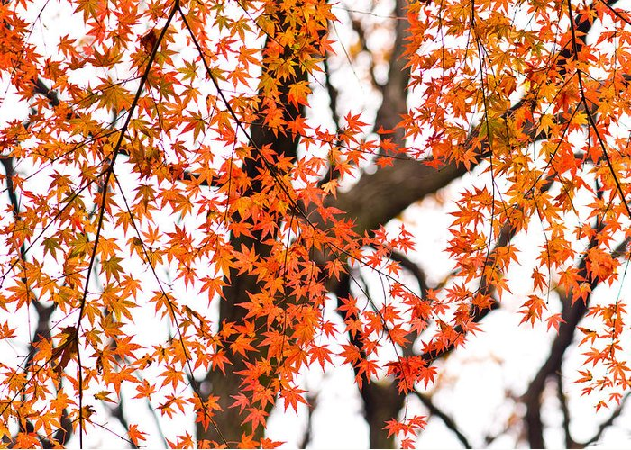 Autumn Greeting Card featuring the photograph Autumn Red Leaves On A Tree  by Ulrich Schade