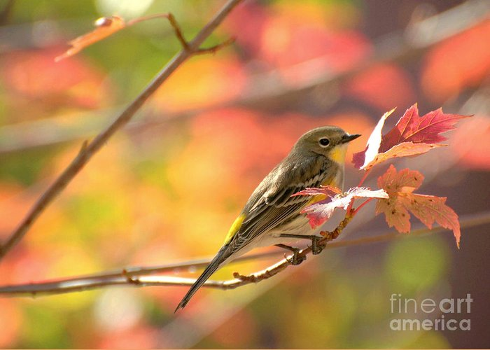 Diana Graves Photography Greeting Card featuring the photograph Autumn Yellow Rumped Warbler by K D Graves